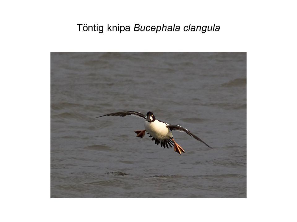 Töntig knipa Bucephala clangula