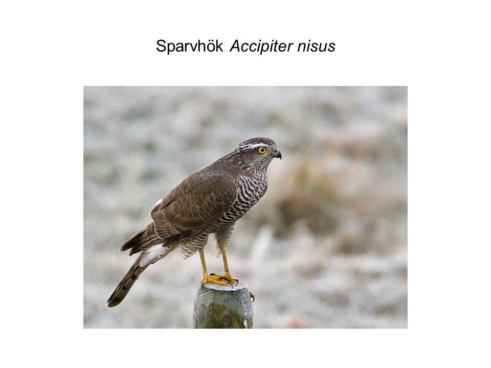 Sparvhök Accipiter nisus