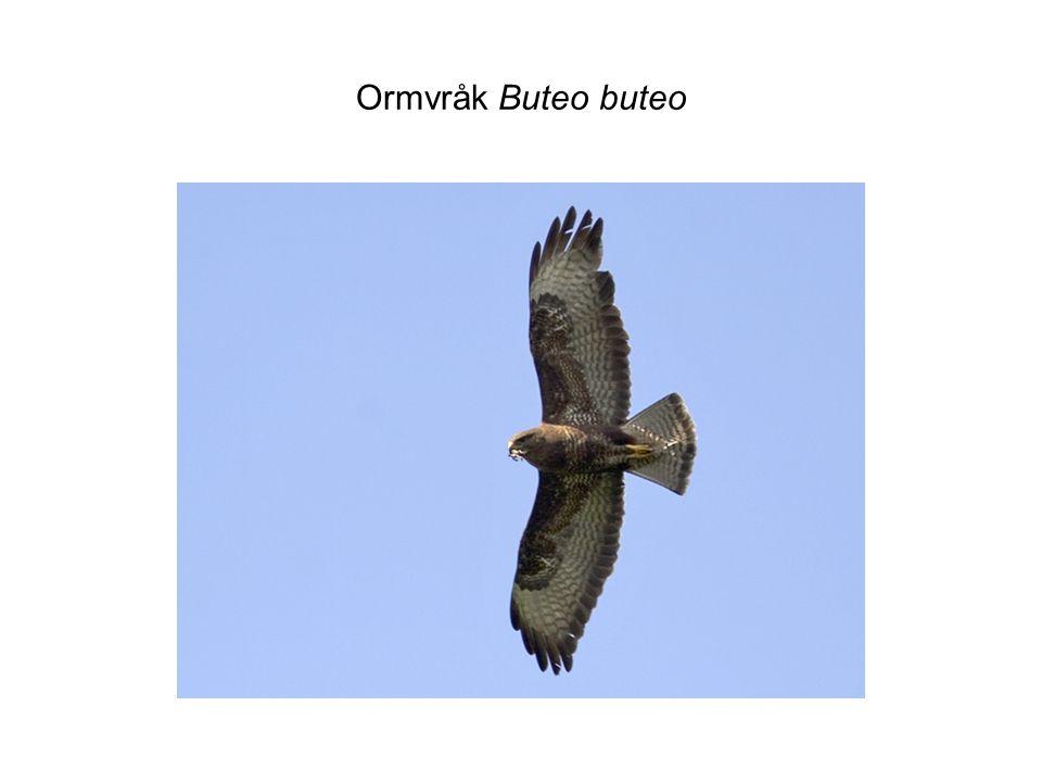 Ormvråk Buteo buteo