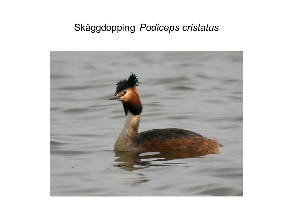 Skäggdopping Podiceps cristatus