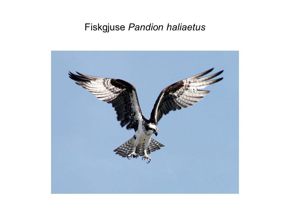 Fiskgjuse Pandion haliaetus