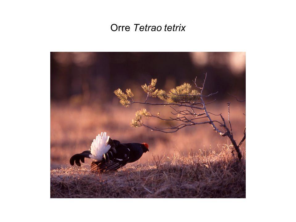 Orre Tetrao tetrix