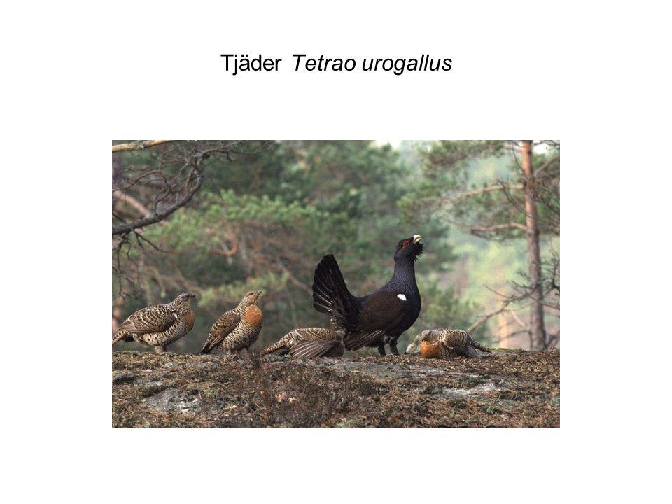 Tjäder Tetrao urogallus