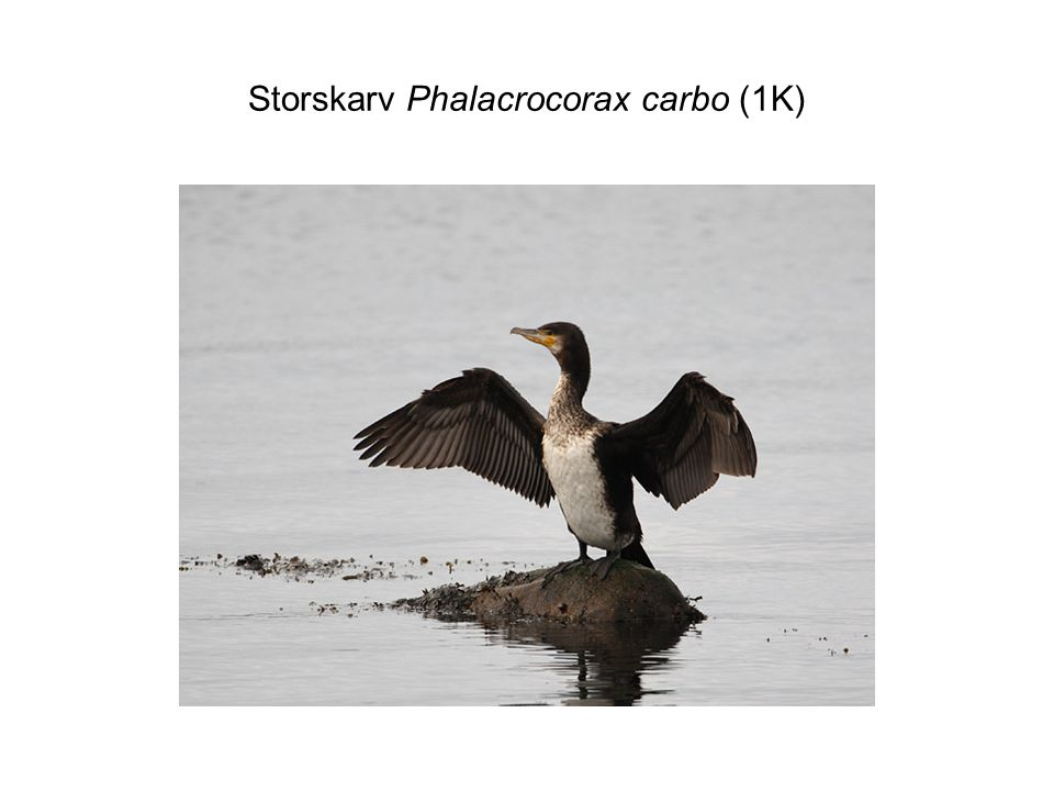 Storskarv Phalacrocorax carbo (1K)