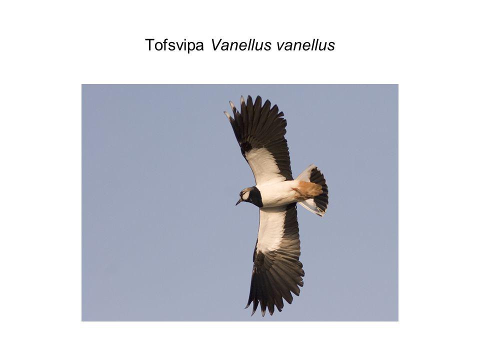 Tofsvipa Vanellus vanellus