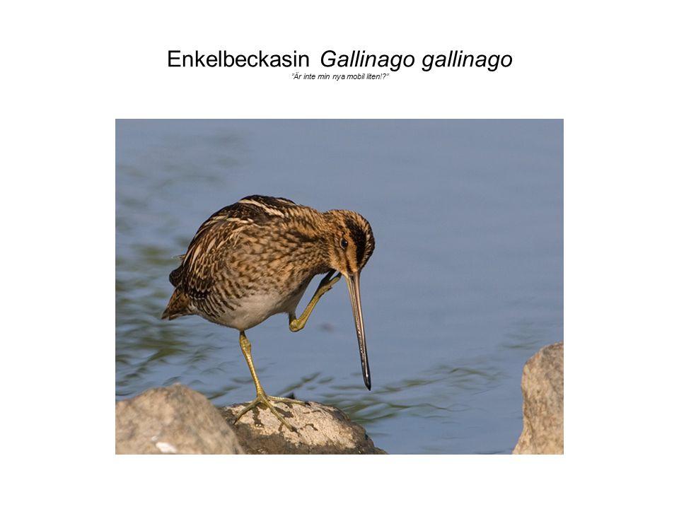 Enkelbeckasin Gallinago gallinago Är inte min nya mobil liten!
