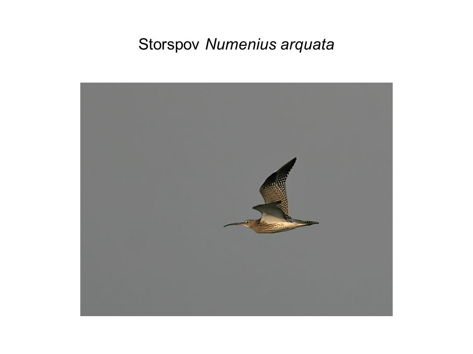 Storspov Numenius arquata