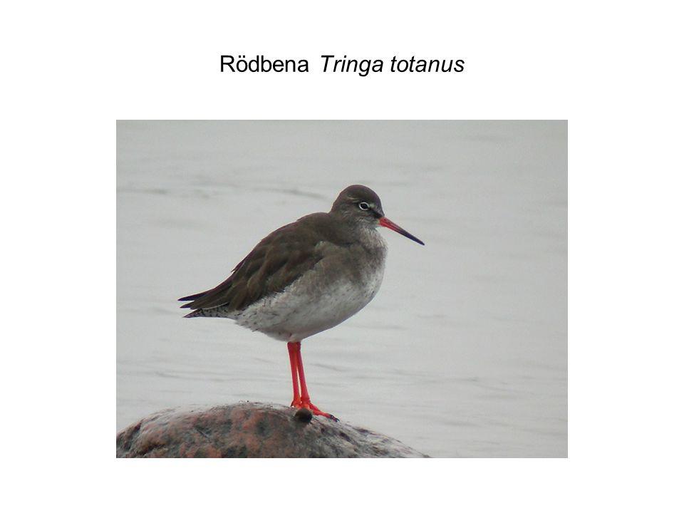 Rödbena Tringa totanus