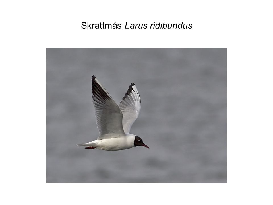 Skrattmås Larus ridibundus