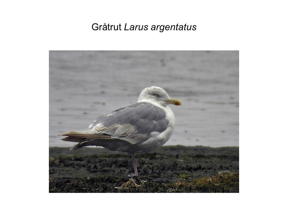 Gråtrut Larus argentatus