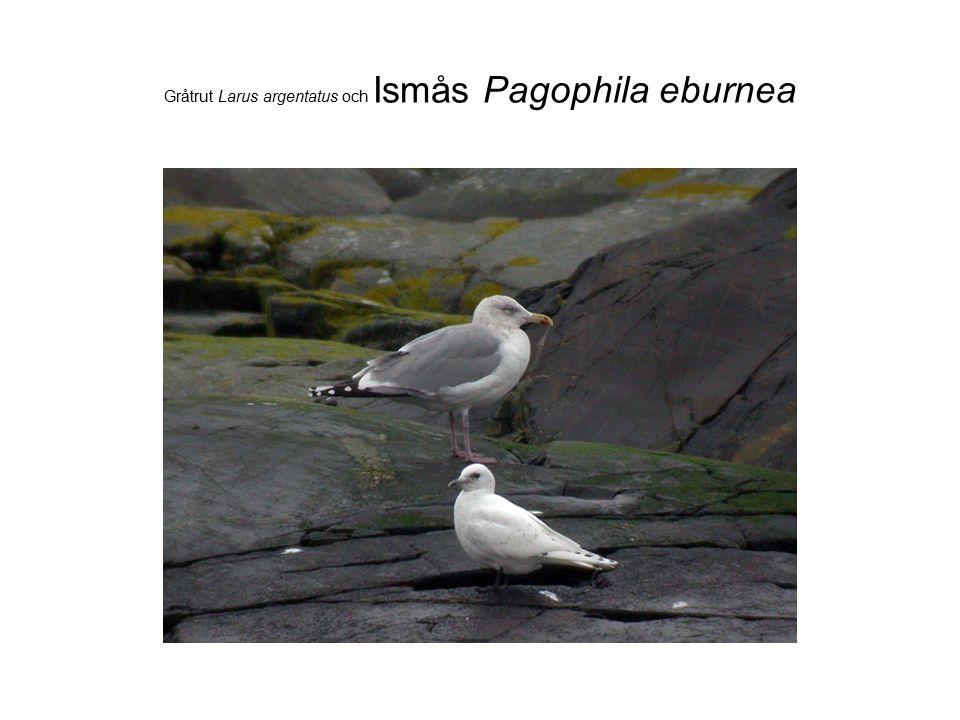 Gråtrut Larus argentatus och Ismås Pagophila eburnea