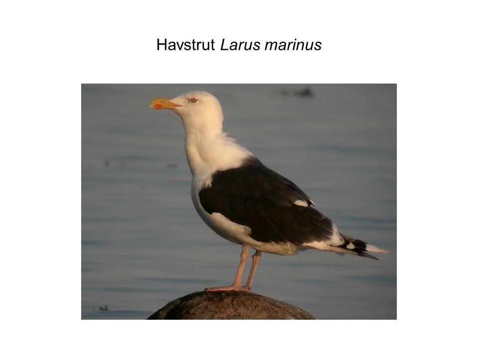 Havstrut Larus marinus