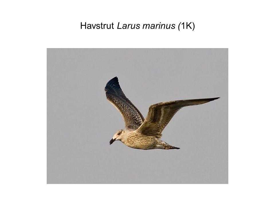 Havstrut Larus marinus (1K)