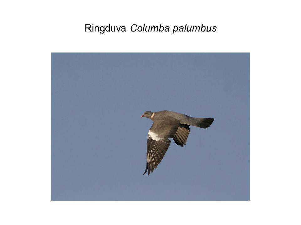 Ringduva Columba palumbus