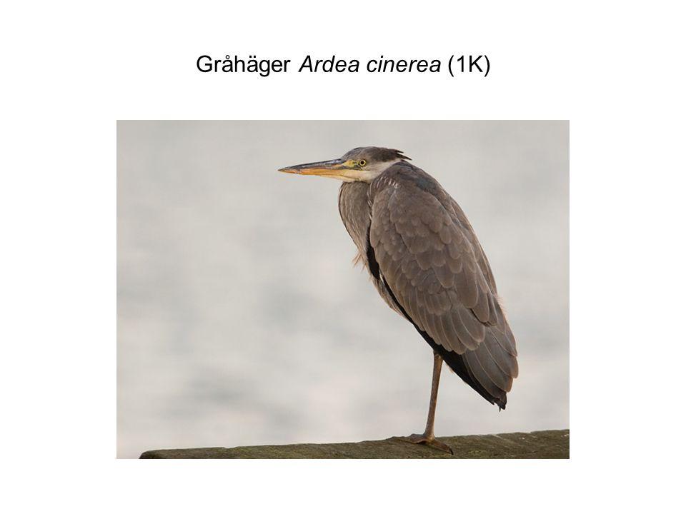 Gråhäger Ardea cinerea (1K)