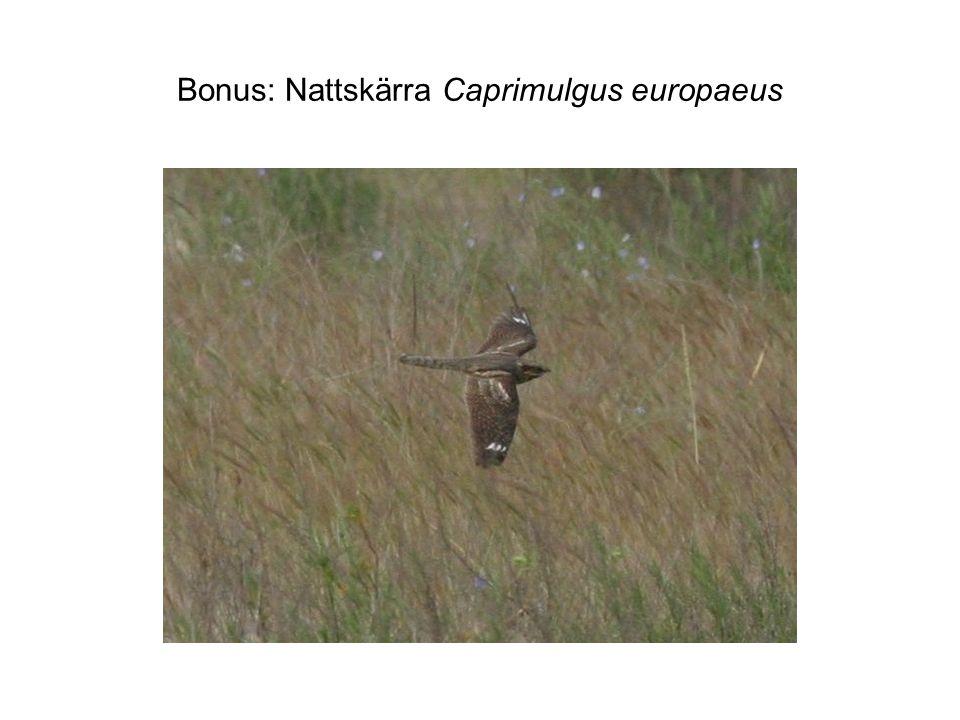 Bonus: Nattskärra Caprimulgus europaeus