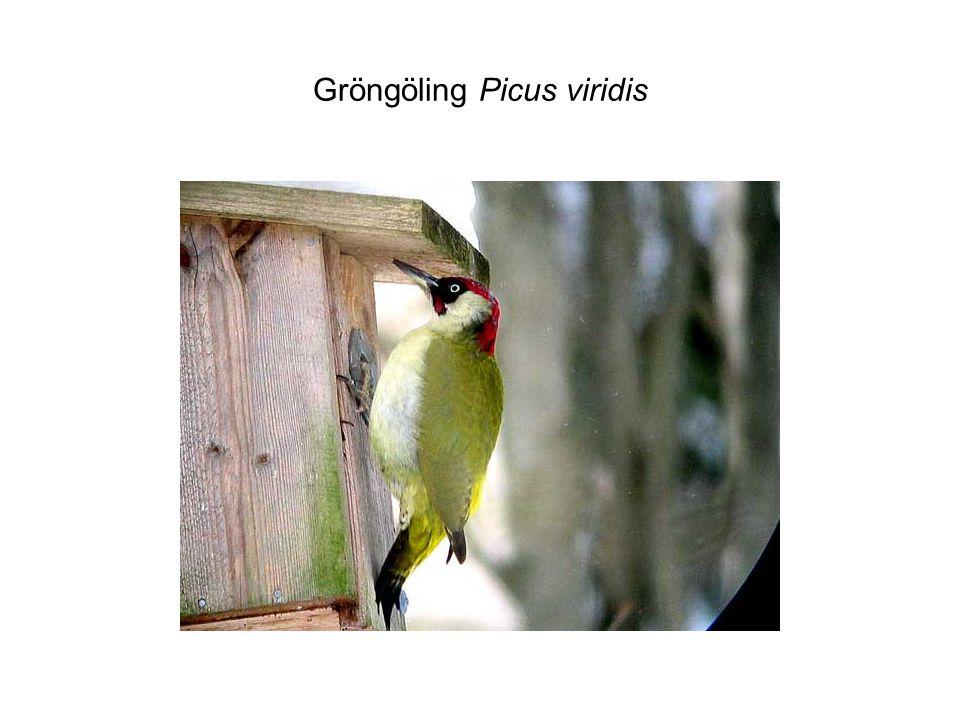 Gröngöling Picus viridis