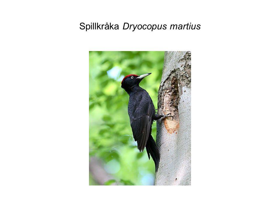 Spillkråka Dryocopus martius