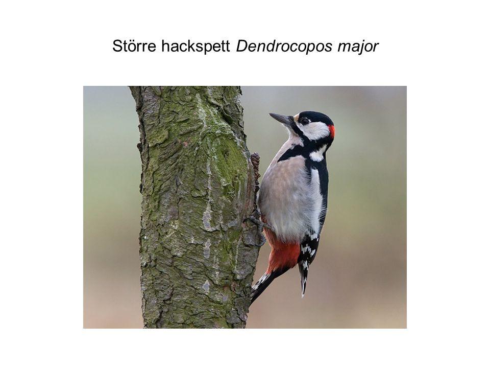 Större hackspett Dendrocopos major