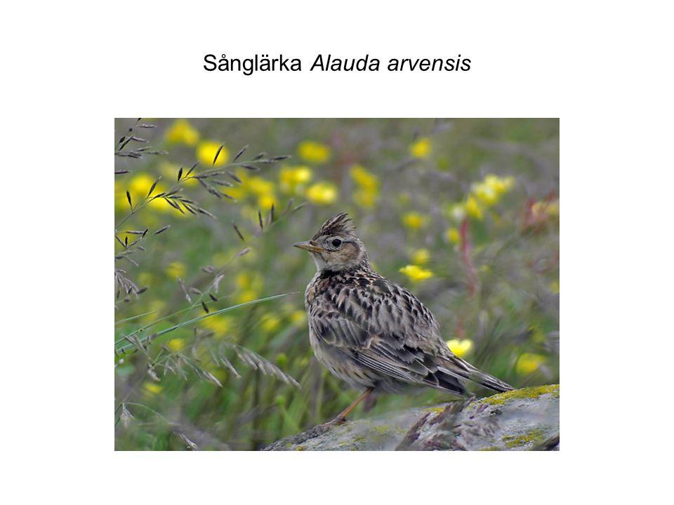 Sånglärka Alauda arvensis