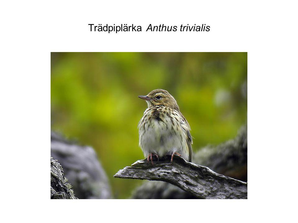 Trädpiplärka Anthus trivialis