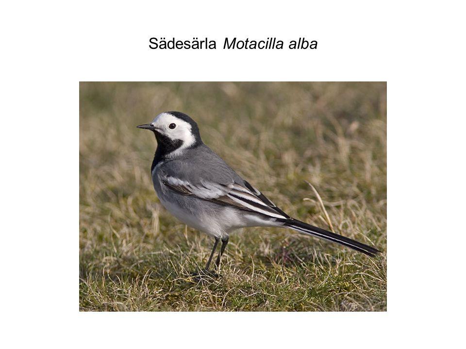 Sädesärla Motacilla alba