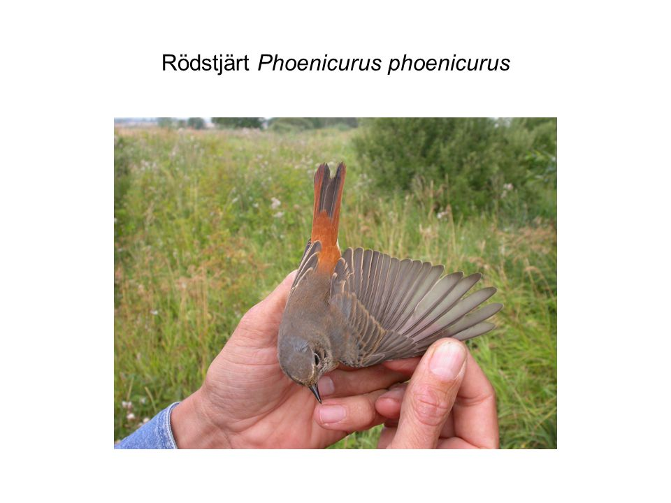Rödstjärt Phoenicurus phoenicurus