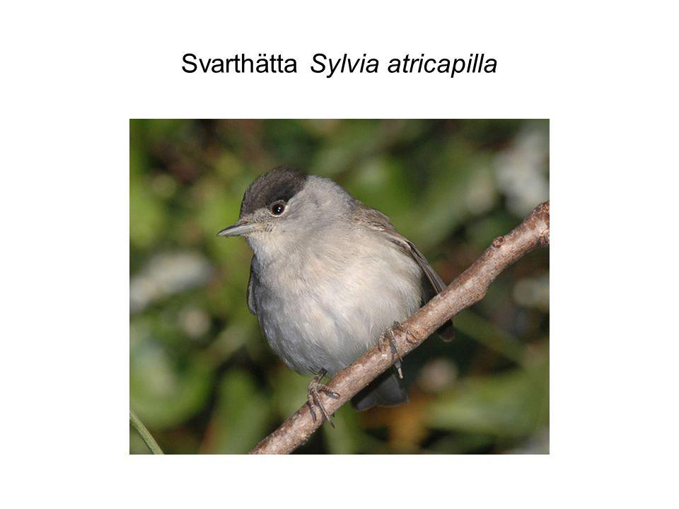 Svarthätta Sylvia atricapilla
