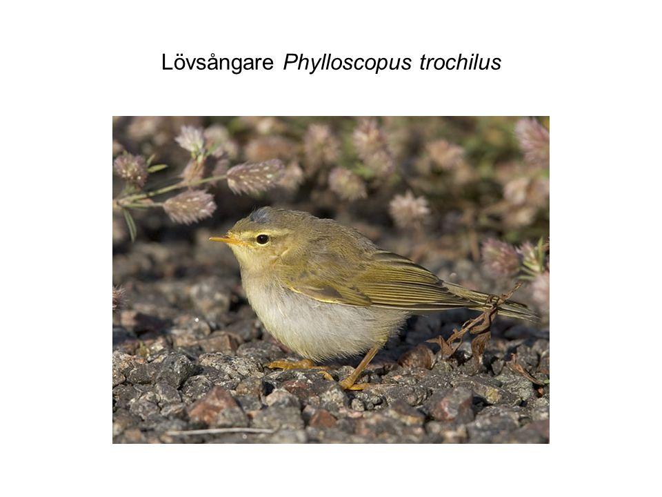Lövsångare Phylloscopus trochilus