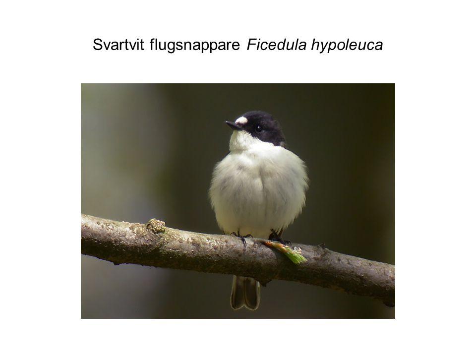Svartvit flugsnappare Ficedula hypoleuca