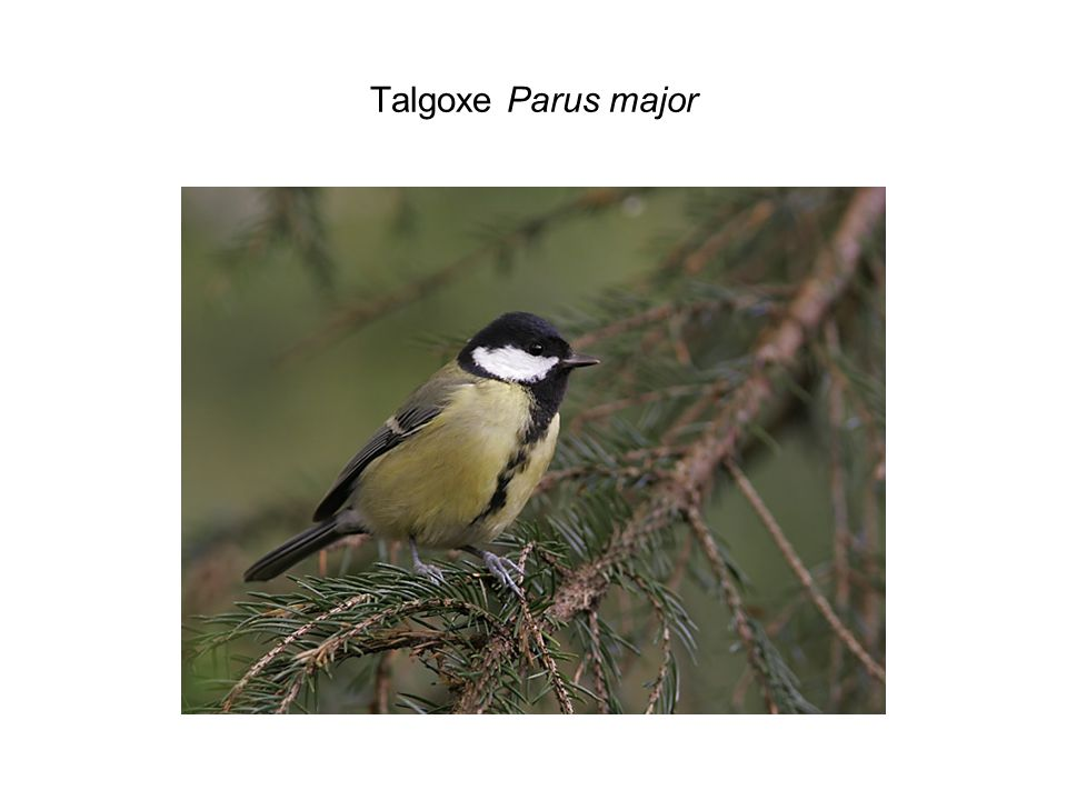 Talgoxe Parus major