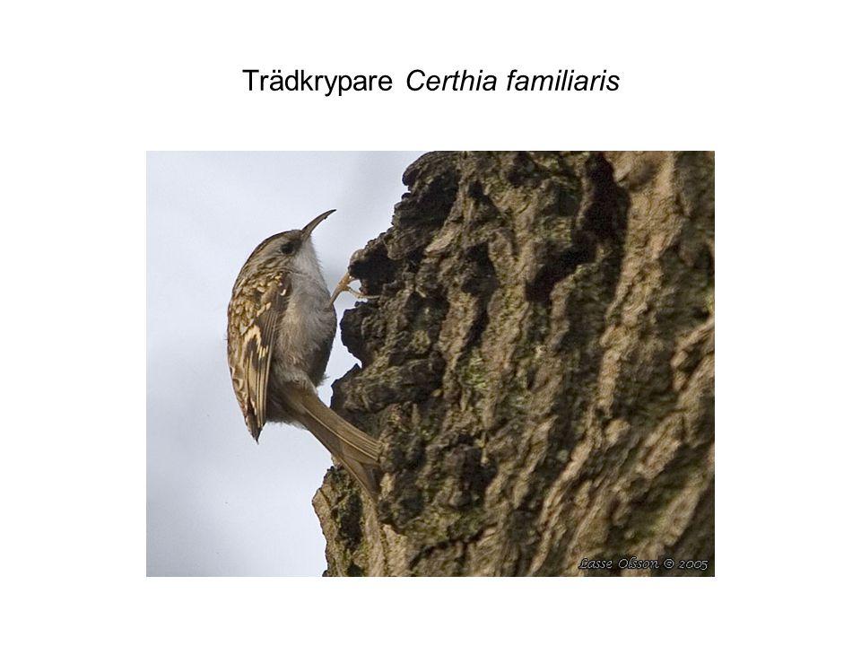 Trädkrypare Certhia familiaris