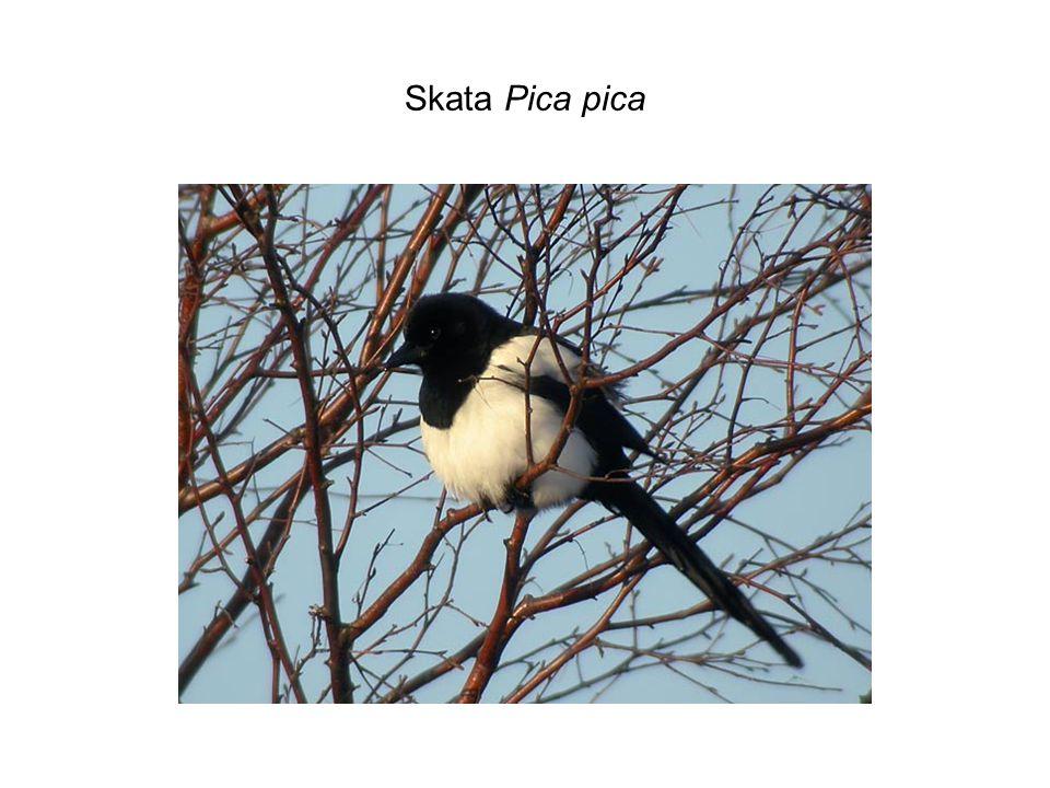 Skata Pica pica