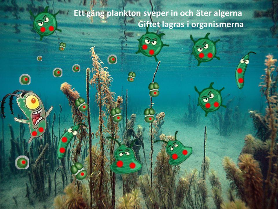Ett gäng plankton sveper in och äter algerna