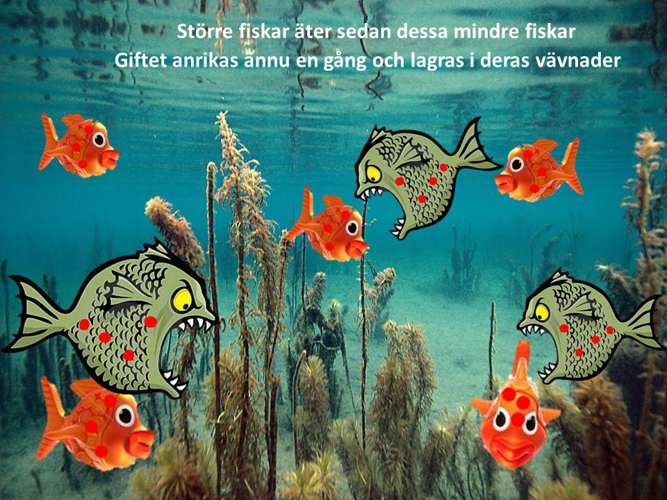 Större fiskar äter sedan dessa mindre fiskar