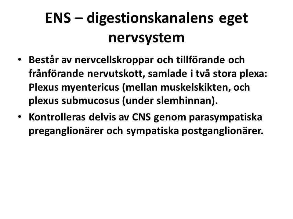 ENS – digestionskanalens eget nervsystem