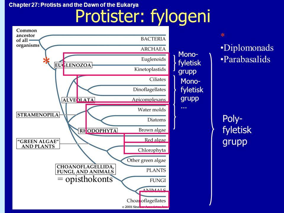 Protister: fylogeni * * Diplomonads Parabasalids Poly- fyletisk grupp