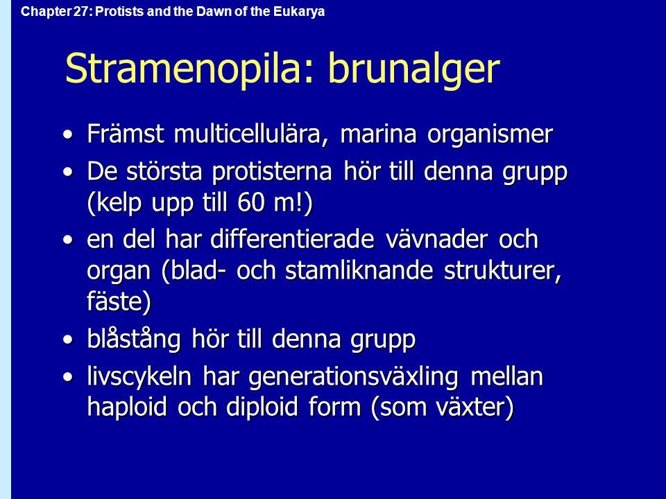 Stramenopila: brunalger