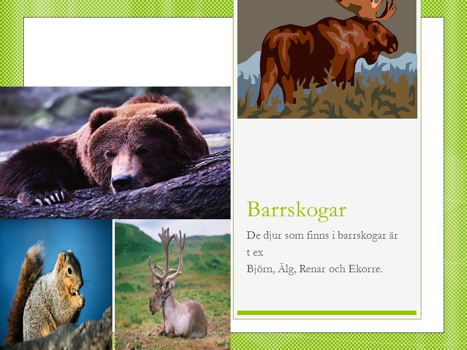 De djur som finns i barrskogar är t ex Björn, Älg, Renar och Ekorre.