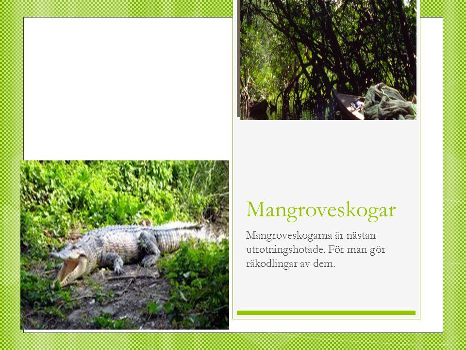 Mangroveskogar Mangroveskogarna är nästan utrotningshotade. För man gör räkodlingar av dem.