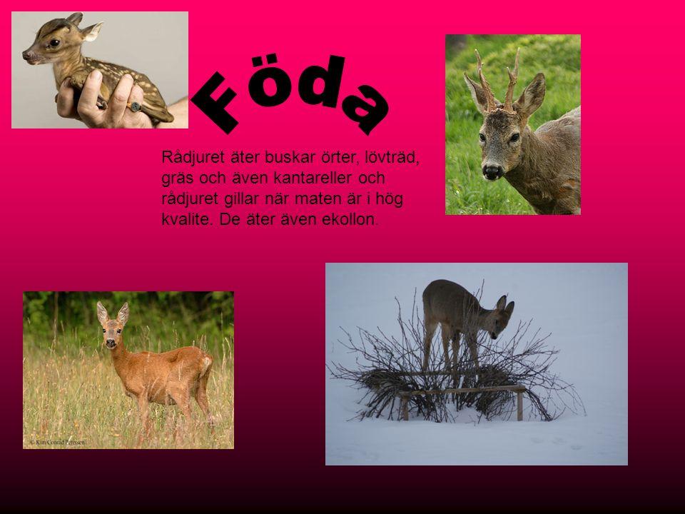 Föda Rådjuret äter buskar örter, lövträd, gräs och även kantareller och rådjuret gillar när maten är i hög kvalite.