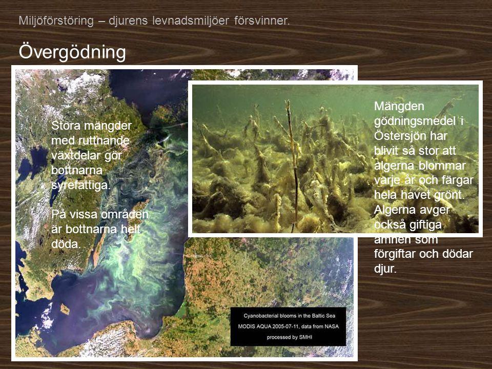 Övergödning Miljöförstöring – djurens levnadsmiljöer försvinner.