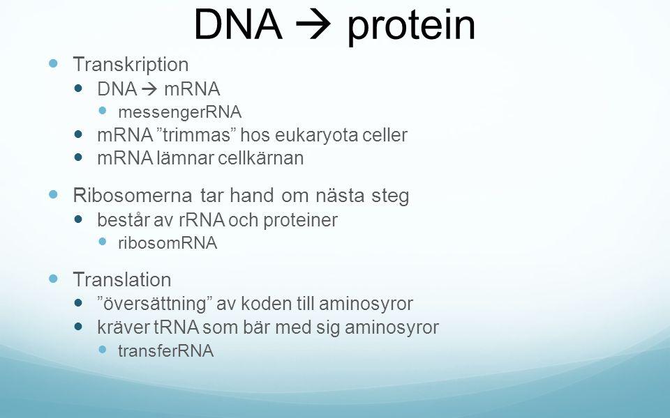 DNA  protein Transkription Ribosomerna tar hand om nästa steg
