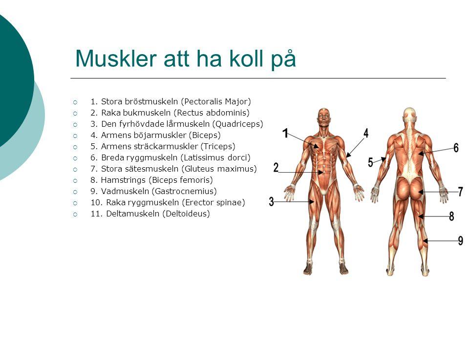 Muskler att ha koll på 1. Stora bröstmuskeln (Pectoralis Major)