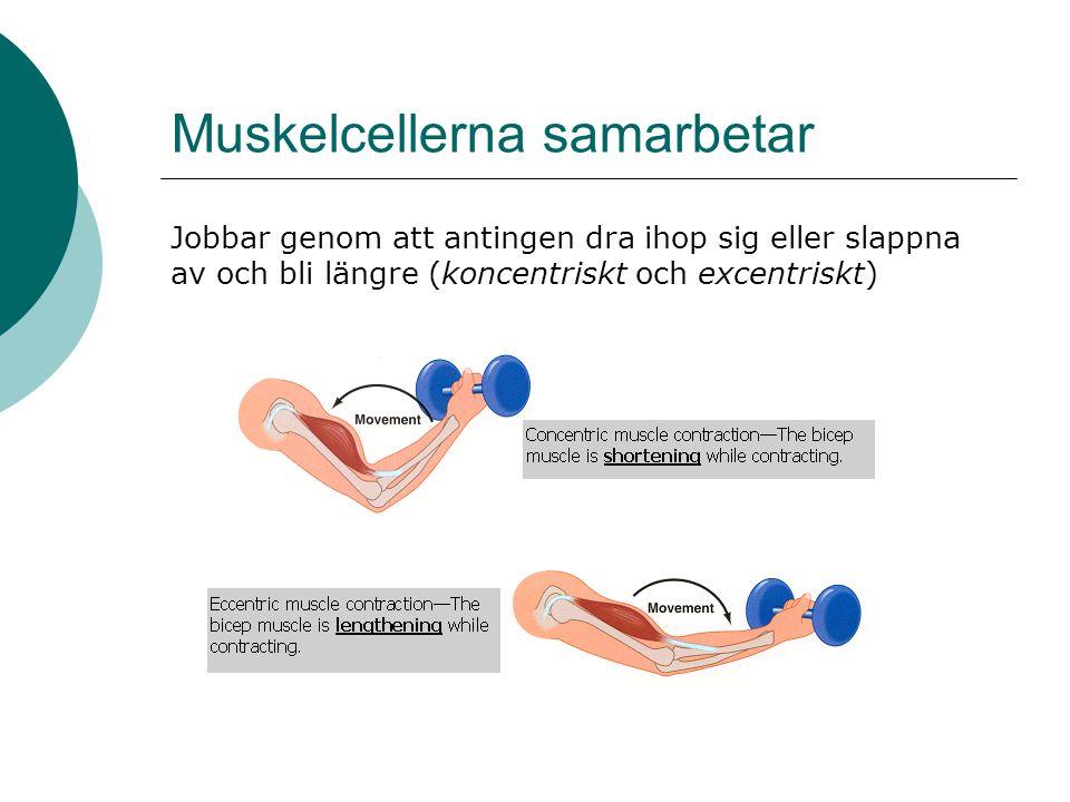 Muskelcellerna samarbetar