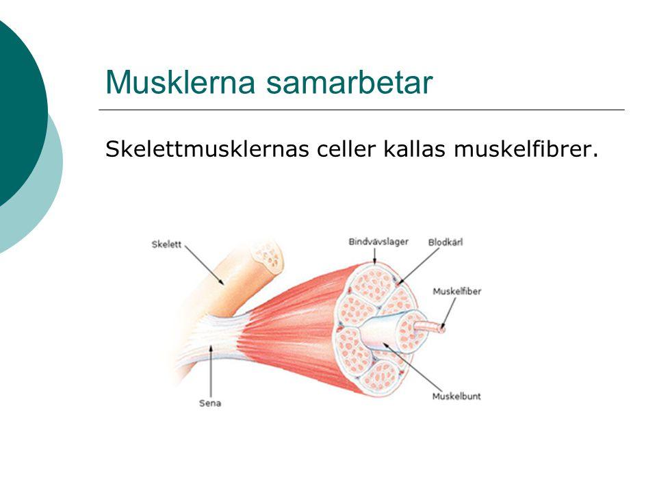 Musklerna samarbetar Skelettmusklernas celler kallas muskelfibrer.