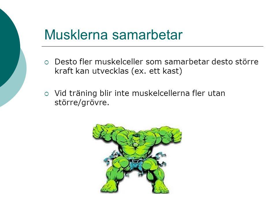 Musklerna samarbetar Desto fler muskelceller som samarbetar desto större kraft kan utvecklas (ex. ett kast)