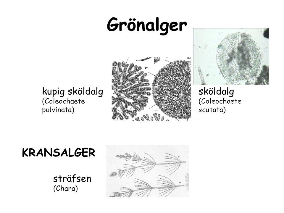 Grönalger KRANSALGER kupig sköldalg sköldalg sträfsen (Chara)
