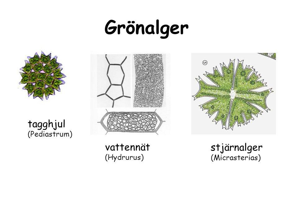 Grönalger tagghjul vattennät stjärnalger (Pediastrum) (Hydrurus)