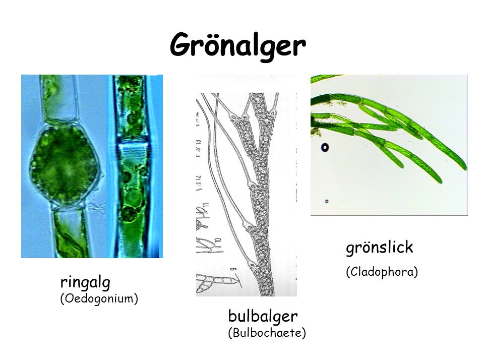 Grönalger grönslick ringalg bulbalger (Cladophora) (Oedogonium)